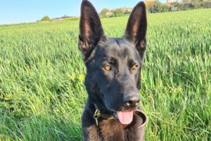 A Police dog located a burglary suspect hiding on a garage roof on only his third shift