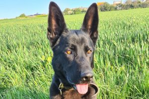 Burglary suspect in Saltdean apprehended by new police dog
