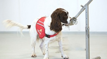 COVID-19 detection dogs trial launches