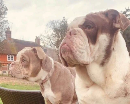 Two bullbogs have been stolen in an overnight raid in Ashford