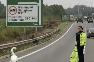 Police  on the #A23  Swanning  around trying to remove a swan from the road..... All for the greater good!